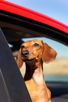 Uśmiechnięty pies wyglądający przez okno