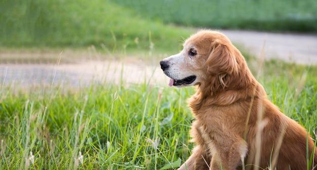 Uśmiechnięty złoty pies na zielonej trawie