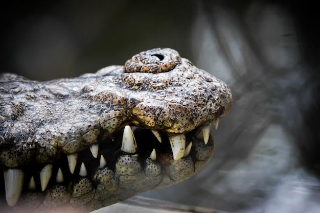 Usta łowcy krokodyli.
