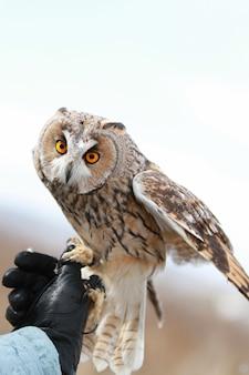 Uszatka oddawana w polu latania i polowania. oswojone zwierzę. asio otus
