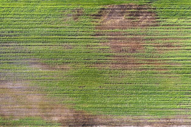 Uszkodzone uprawy na polu. z powodu złych warunków rasy, złej gleby lub choroby. chore uprawy rolne.