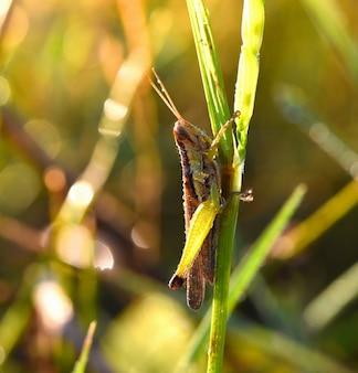 Uszy koników polnych rano na trawie