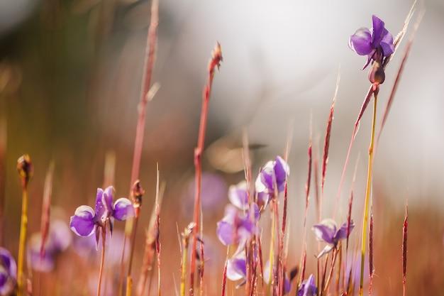 Utricularia delphinioides jest rośliną owadożerną z rodziny wong suoi wanna. roślina zielna kwiaty mają bukiet ciemnofioletowy.