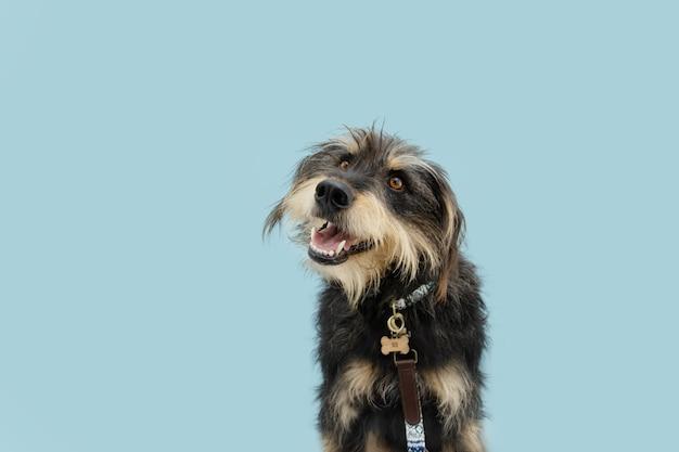 Uważny futrzany pies w obroży, drewnianej metce identyfikacyjnej i smyczy