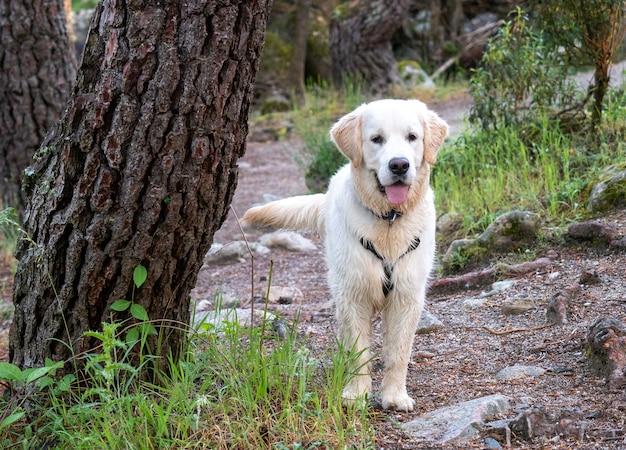 Uważny pies stojący w lesie. piesek z uprzężą stoi spacerując po lesie w słoneczny dzień.