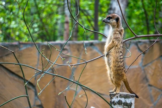 Uważny suricat stojący na drewnianym pniu i wypatrujący niebezpieczeństwa.