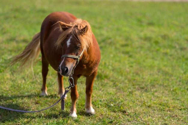 Uwiązany brązowy kucyk stojący na zielonym trawiastym pastwisku patrząc z boku