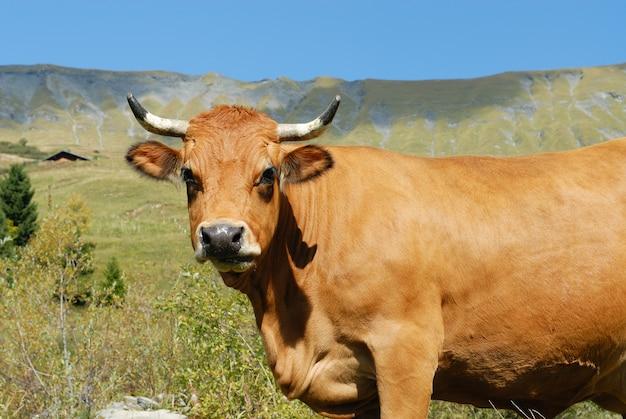 Vache en alpage
