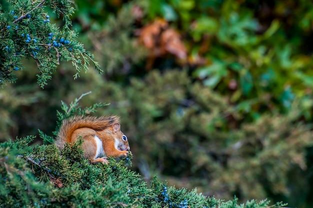 Vadnais heights minnesota vadnais lake regional park amerykańska wiewiórka czerwona tamiasciurus hudsonicus jedząca jagody cedr czerwony