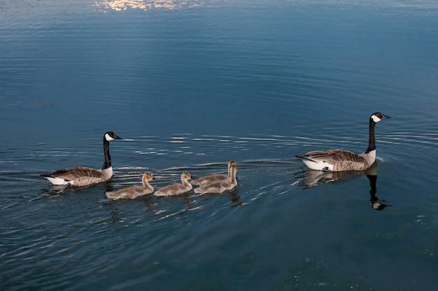 Vadnais heights minnesota vadnais lake regional park gęsi kanadyjskie branta canadensis pływające w jeziorze z czterema pisklętami gęsi o zachodzie słońca