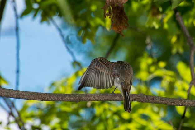 Vadnais heights minnesota vadnais lake regional park phoebe wschodnia sayornis phoebe siedząca na gałęzi drzewa czyszcząca swoje skrzydło