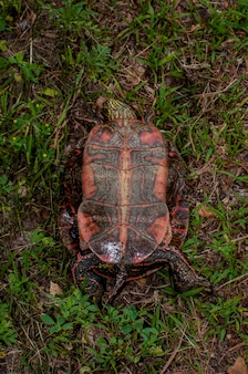 Vadnais heights minnesota vadnais lake regional park zachodni malowany żółw chrysemys picta bellii leżący na plecach pokazujący plastron