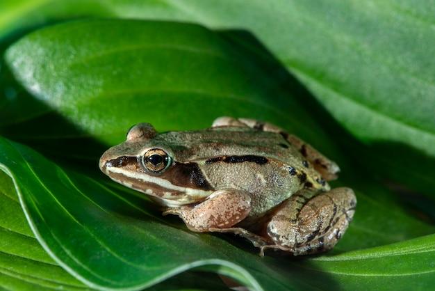 Vadnais heights, minnesota. widok z boku żaby leśnej, rana sylvatica na zielonych liściach.