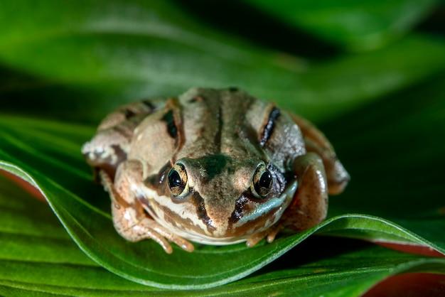 Vadnais heights, minnesota. żaba leśna, rana sylvatica na zielonych liściach, patrząc na kamery.