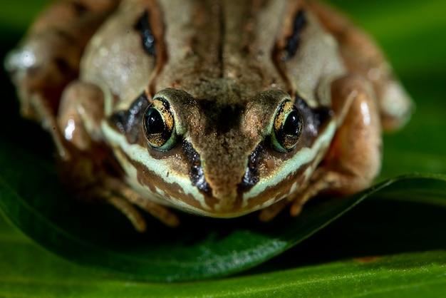 Vadnais heights, minnesota. żaba leśna, rana sylvatica na zielonych liściach.