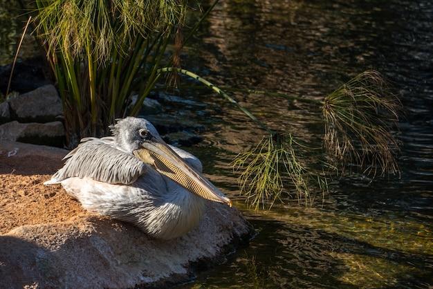 Valencia, hiszpania - 26 lutego: pelikan szary w bioparc w walencji w hiszpanii 26 lutego 2019 r.