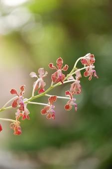 Vanda kwitnienia storczykowy kwiatu zakończenie up