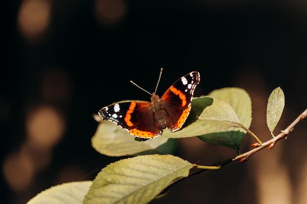 Vanessa atalanta lub czerwony admirał. piękny motyl z czarnymi skrzydłami, pomarańczowymi paskami i białymi plamami