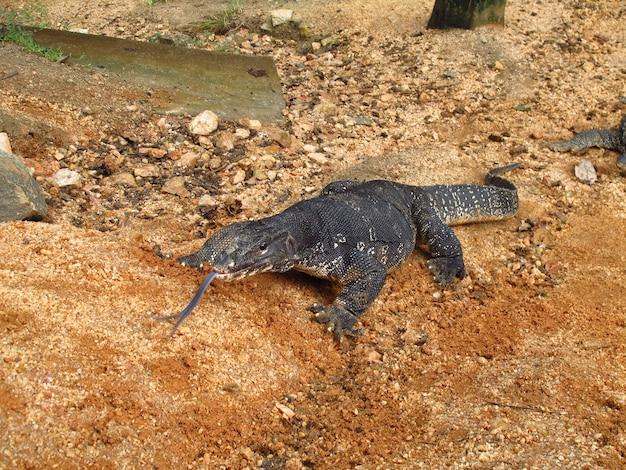 Varan w polonnaruwa na sri lance