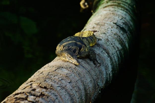 Varanus salvator leżał na drzewie kokosowym