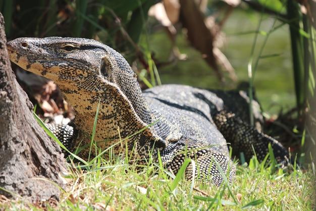 Varanus salvator niebezpieczna, zwierzęca przyroda w ogrodzie w pobliżu rzeki