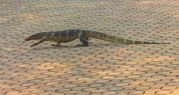 Varanus salvator pomijanie betonowej drogi w parku w kraju, tajlandia.