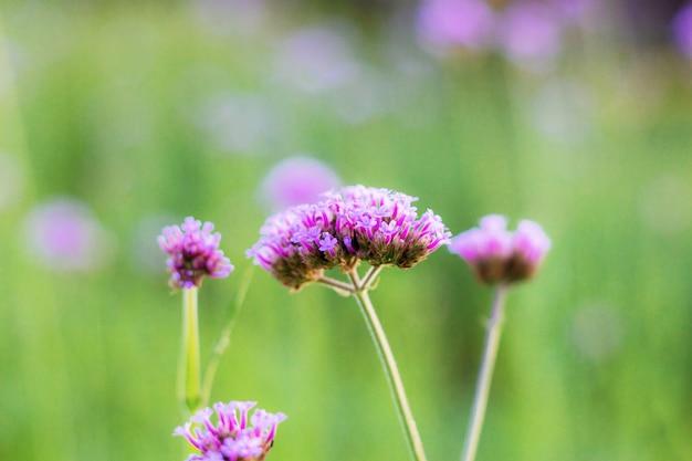 Verbena kwiat z wschodem słońca.