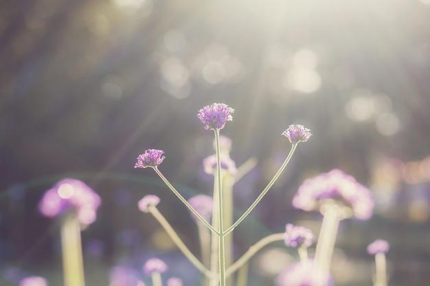 Verbena kwitnie z wschodem słońca.