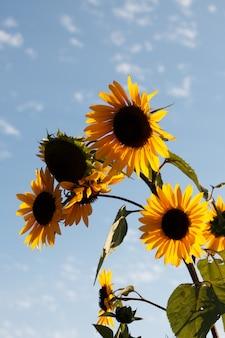 Vertical strzał słoneczniki pod pięknym chmurnym niebem