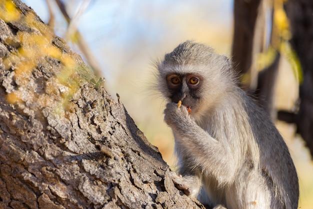 Vervet małpy łasowania dokrętki na drzewie w marakele parku narodowym, południowa afryka. ścieśniać.