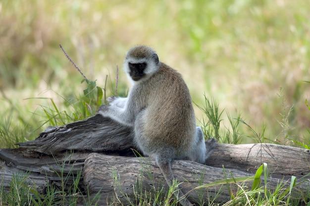 Vervet monkey chlorocebus pygerythrus