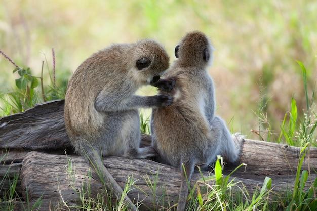 Vervet monkeys chlorocebus pygerythrus