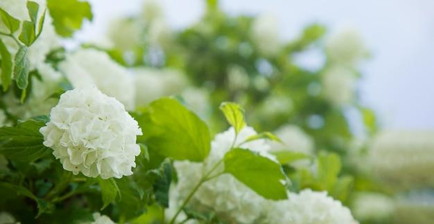 Viburnam kwiaty biała kula śnieżna naturalne tło
