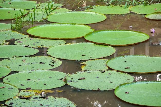 Victoria lily ochraniacze na rzece w manaus - brazylia