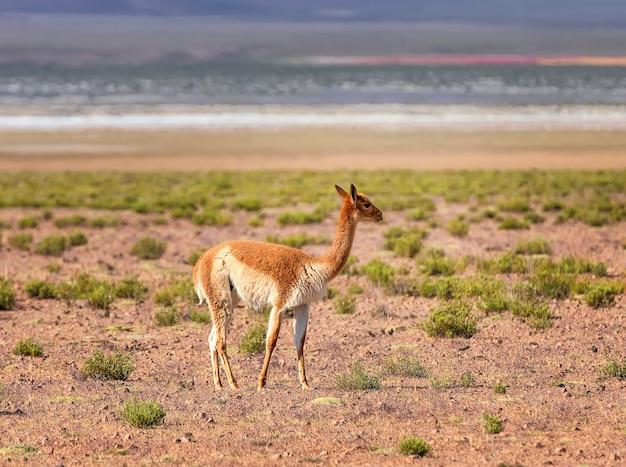 Vicuna spaceruje w dolinie w pobliżu góry w boliwii andach ameryka południowa