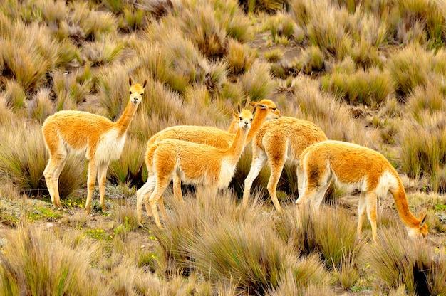 Vicuñas na dużej wysokości, ameryka południowa