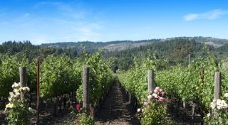 Vineyard and roses