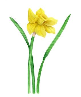 Vintage akwarela żółty narcyz ilustracji botanicznych