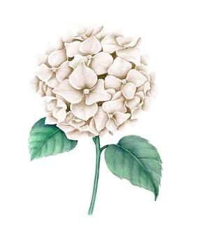 Vintage biała hortensja relistyczna ilustracja botaniczna akwarela na białym tle