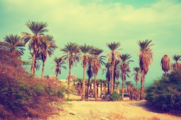 Vintage krajobraz z palmami daktylowymi w rezerwacie ein gedi w izraelu