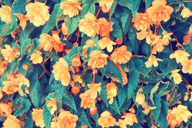 Vintage tło kwiat begonii