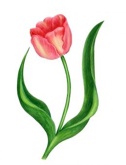 Vintage watercoolor tulipan na białym tle na białym tle. ilustracja botaniczna
