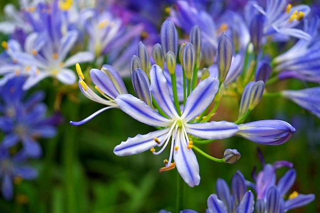 Violet blue african lily background marco close up