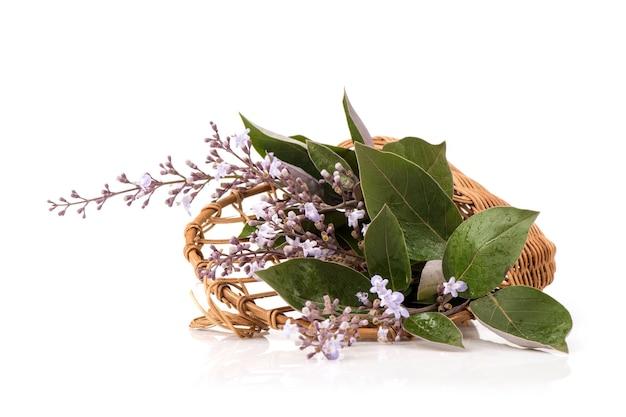 Vitex trifolia purpurea kwiaty i zielone liście na białym tle.