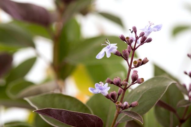 Vitex trifolia var. purpurea, kwiaty i liście na białym tle.