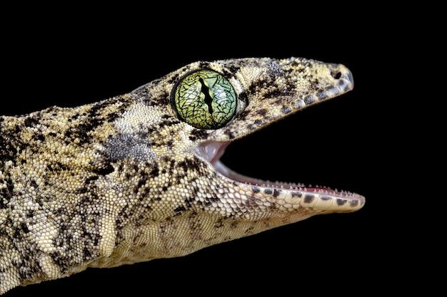 Vorax gecko lub gigantyczna głowa gekona halmaheran z bliska