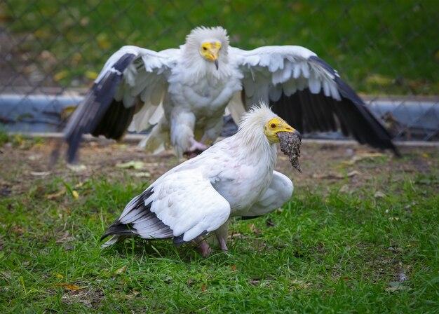 Vulture atakuje i próbuje zabrać zdobycz