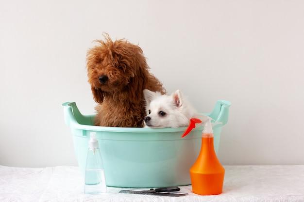 W basenie siedzą dwa psy pudel miniaturowy czerwonobrązowy i biały szpic miniaturowy, w pobliżu znajdują się produkty do pielęgnacji sierści. pojęcie pielęgnacji, kąpieli zwierząt.