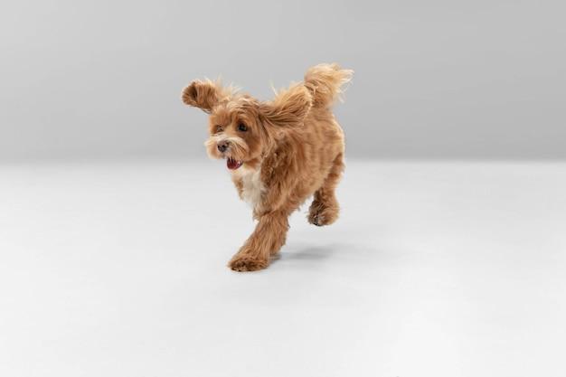 W biegu. mały piesek maltipu pozuje. ładny zabawny piesek braun lub zwierzę grając na tle białego studia. pojęcie ruchu, akcji, ruchu, miłości do zwierząt. wygląda na szczęśliwą, zachwyconą, zabawną.