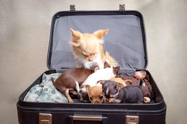 W czarnej walizce siedzi rudowłosy pies ze szczeniętami.